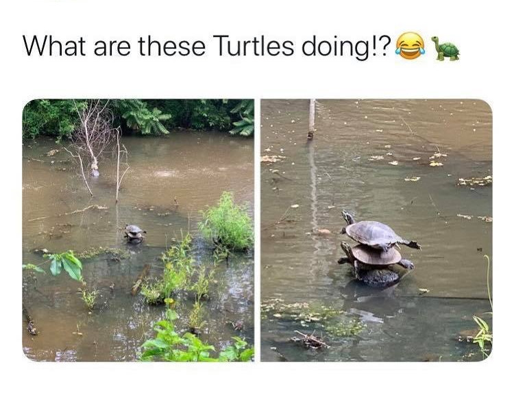 What are these turtles doing