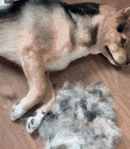 5f145e3c5d8ad_Clone-the-dog-with-its-hair.jpg