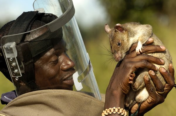Training rats to save lifes